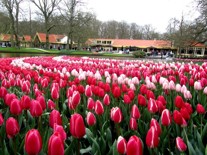Surrounded by the tulips a day in amsterdam mysterium for What season are tulips